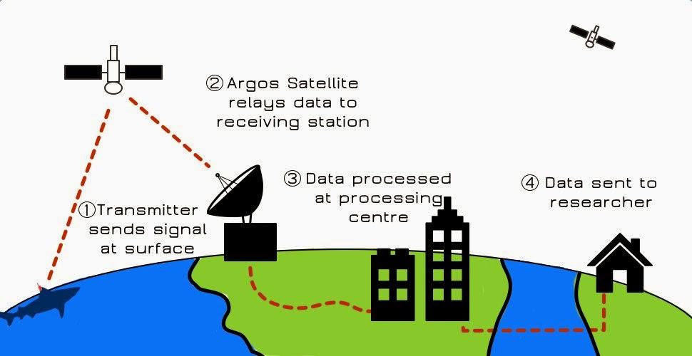 Diagram showing the basic steps in information flow for satellite tracking of marine animals