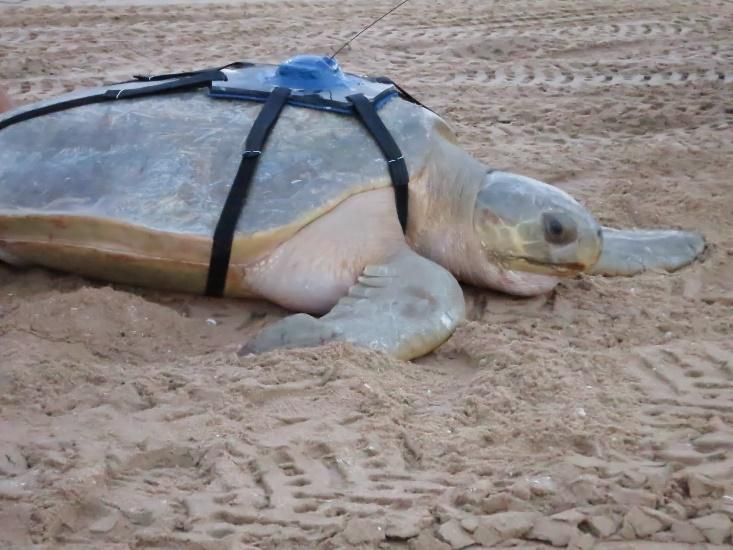 A Flatback turtle fitted with a Satellite tag